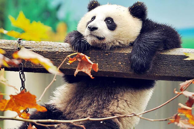 Best Time to Join a China Panda Tour