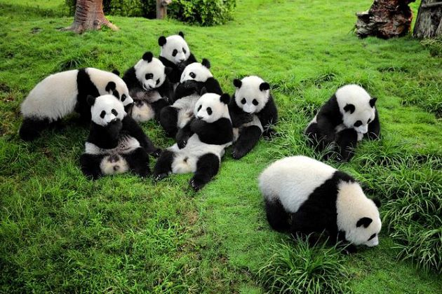 Chengdu Research Base with lovely Pandas