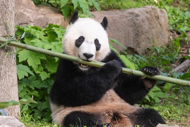 Giant Panda Breeding Base discovery in China trip
