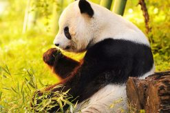 Highlights of Chengdu Panda Tour – 12 Days