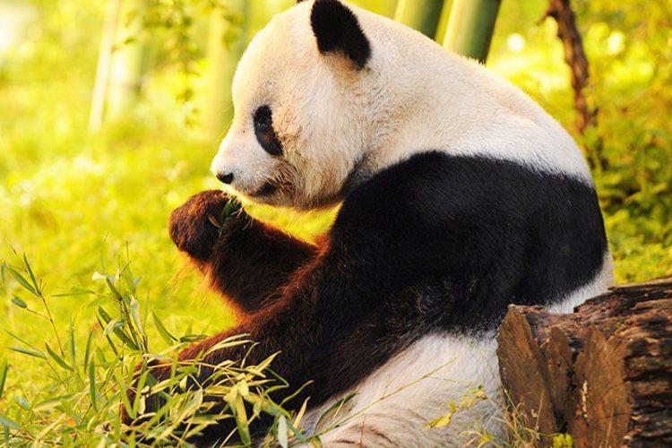 Highlights of Chengdu Panda Tour – 12 Days