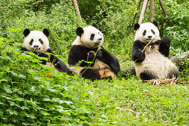 Panda Conservation Centre in China