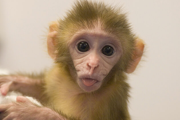 The Monkey in Chinese Zodiac sign