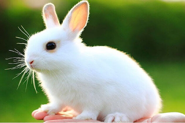 The Rabbit of Chinese Zodiac Signs