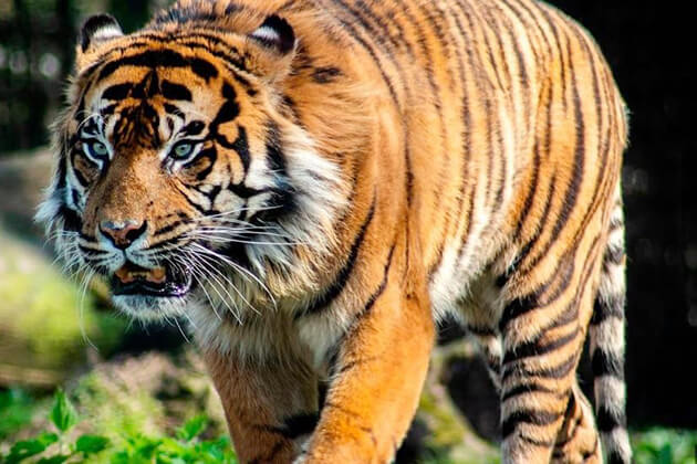 Tiger - one of the animals in Chinese Zodiac