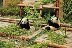 explore Chengdu Panda Breeding Research Base from China tour packages