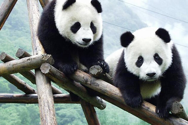 explore hometown of Giant Pandas Chengdu in China tour