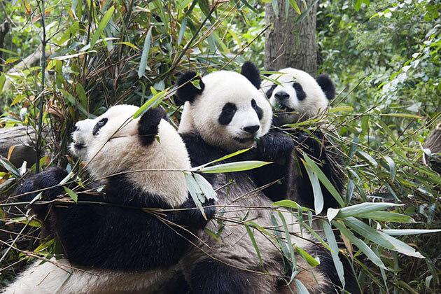 lovely pandas in China Panda Tour
