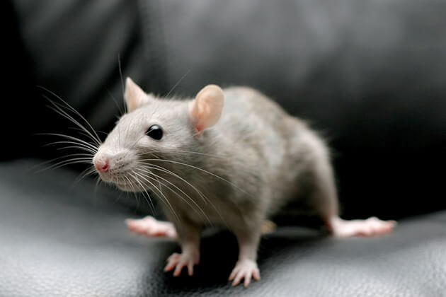 the Rat from Chinese zodiac sign