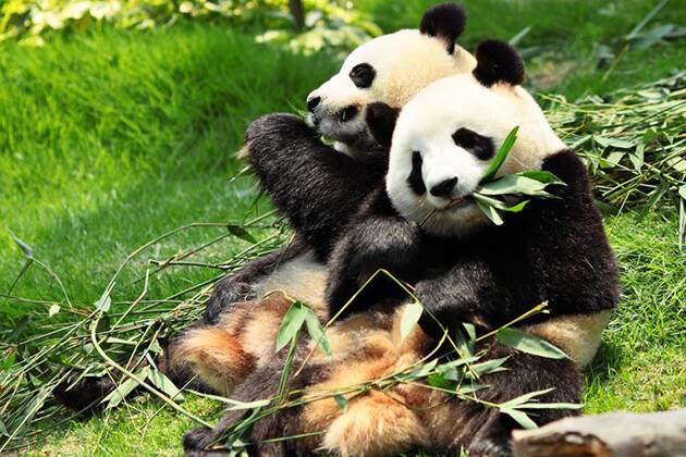 visitors of China local tour explore Giant Panda breeding